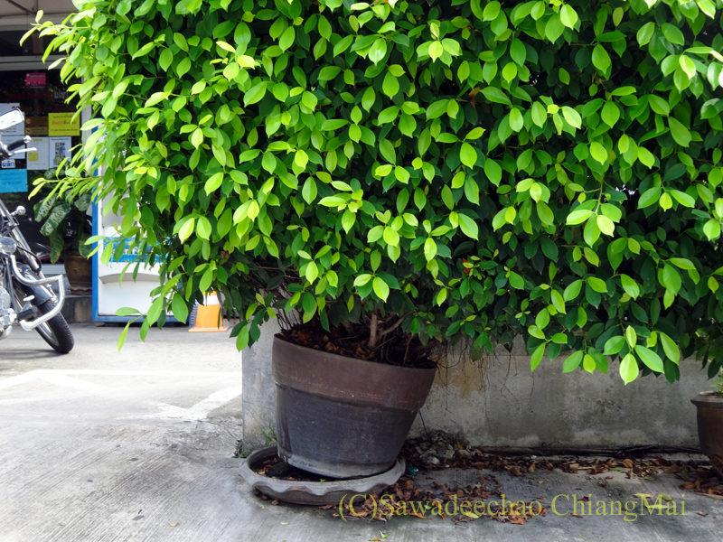 チェンマイの自宅近くに置かれている木の重みで傾いた植木鉢
