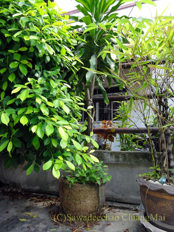 チェンマイの自宅近くに置かれている根の勢いで割れてしまった植木鉢