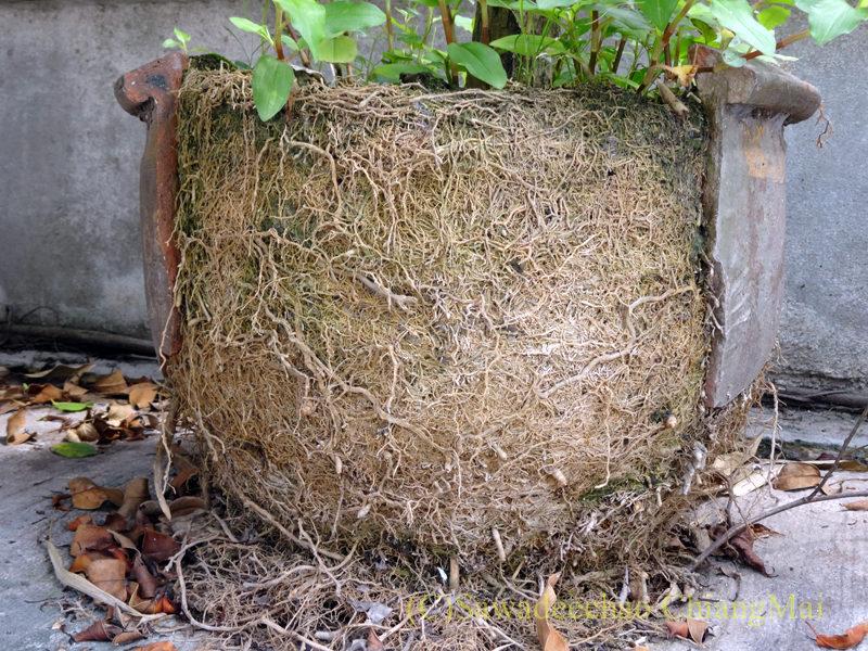 チェンマイの自宅近くのアパートの前に置かれている植木鉢