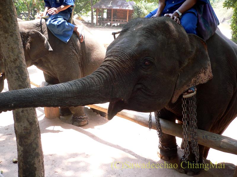 タイのラムパーンにある国立象保護センターのエレファントショーでエサを受け取る象
