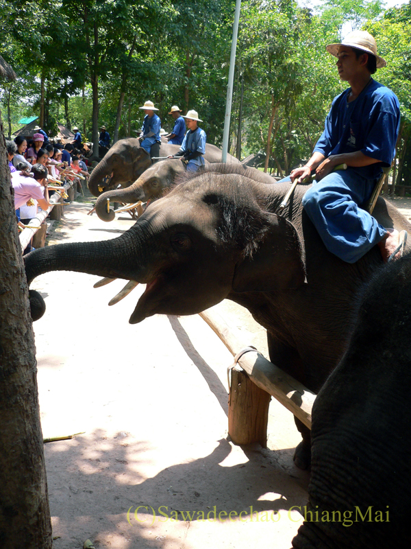 タイのラムパーンにある国立象保護センターのエレファントショーでエサを受け取る象たち