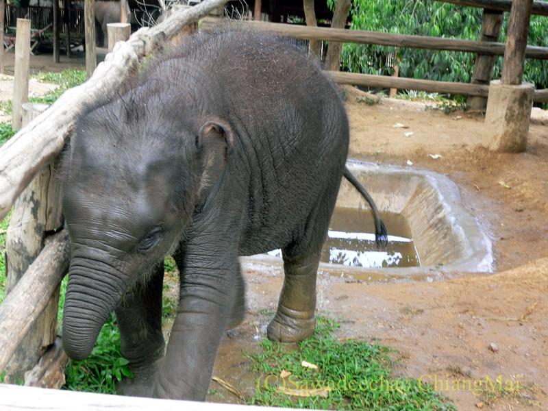 タイのラムパーンにある国立象保護センターの小象