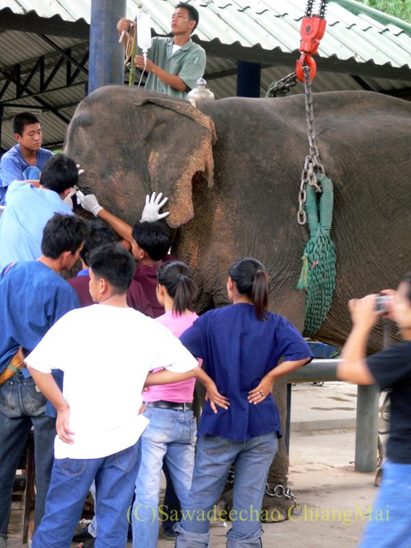 タイのラムパーンにある国立象保護センターの象病院で治療中の象