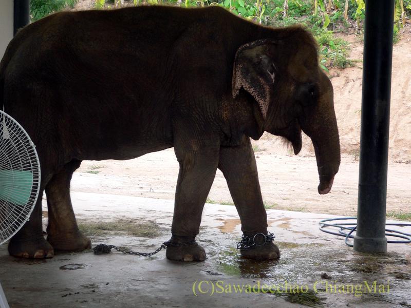 タイのラムパーンにある国立象保護センターの鼻をけがした象