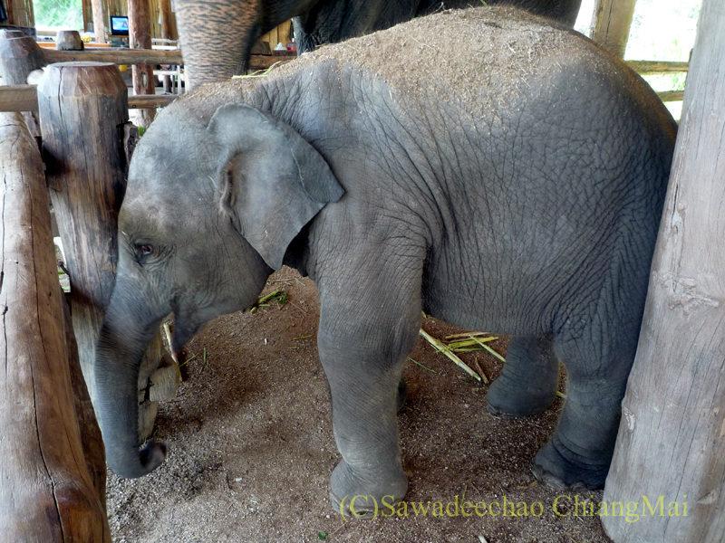 タイのラムパーンにある国立象保護センター