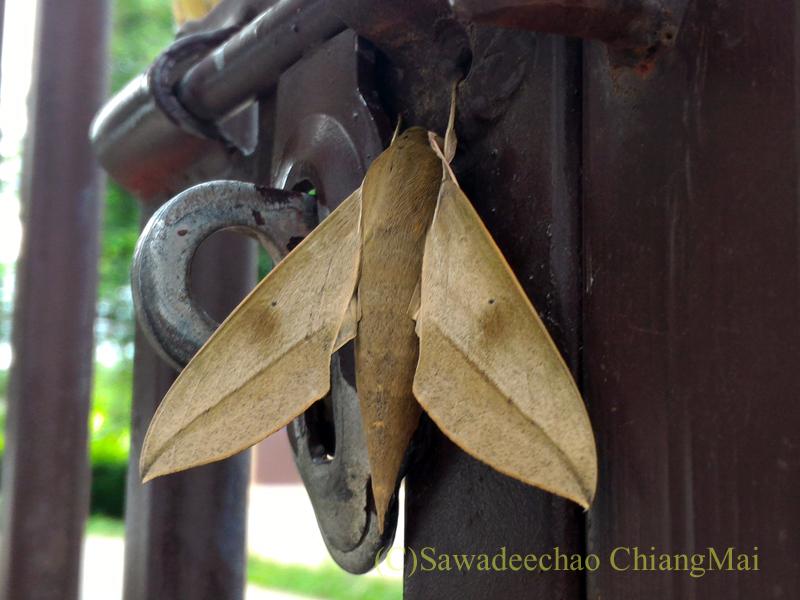 チェンマイの自宅の門扉にいた木の葉に擬態した蛾のアップ