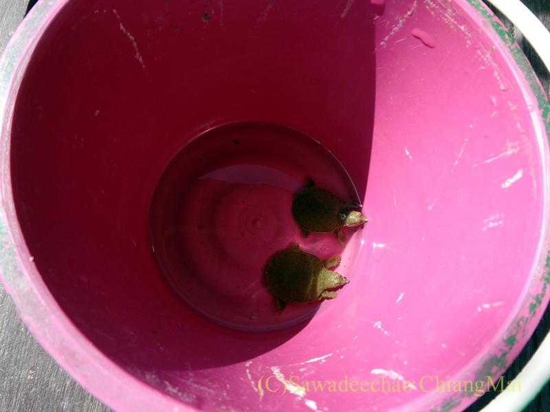 ウィサカブーチャの日のチェンマイのワットチャイモンコンの放生用の亀