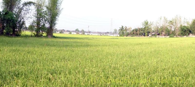 チェンマイで住む家を探す時に下見した郊外の格安新築一戸建て住宅の裏の田んぼ