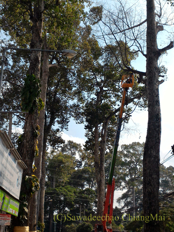チェンマイ-ラムプーン街道でクレーン車に乗ってヤーンの巨木の剪定をする人