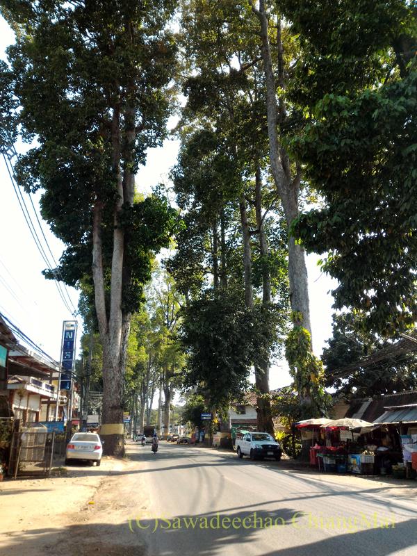 チェンマイ-ラムプーン街道のみごとなヤーンの巨木の並木