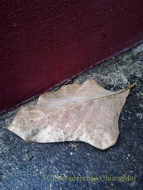チェンマイ郊外の自宅のコンクリートの上に落ちている落ち葉