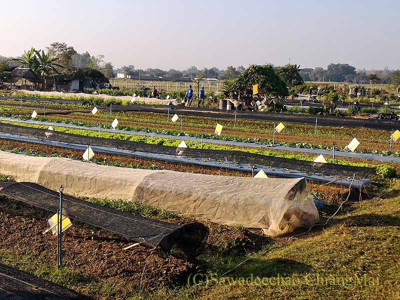 チェンマイ大学農学部メーヒアキャンパスの畑