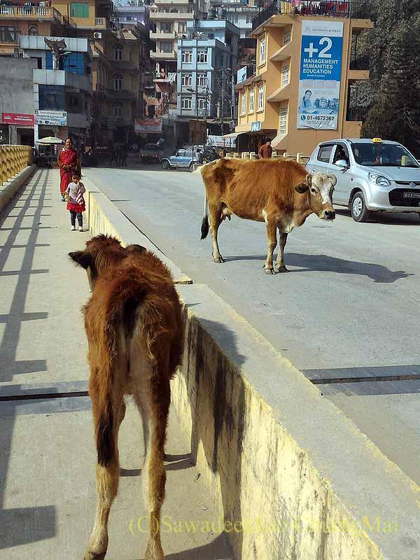 ネパールのカトマンズ市内をウロウロしている牛
