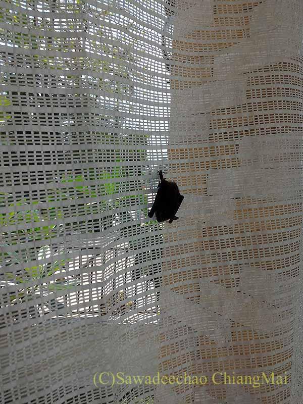 チェンマイの自宅の日よけネットにいたコウモリの概観