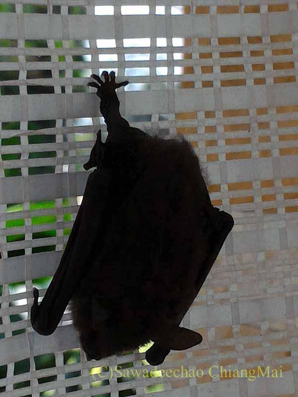 チェンマイの自宅の日よけネットにいたコウモリのアップ