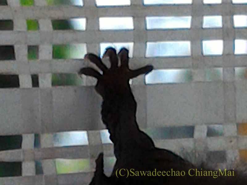 チェンマイの自宅の日よけネットにいたコウモリの脚