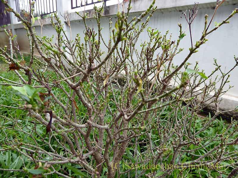 チェンマイの自宅の庭の丸裸のジャスミンの木