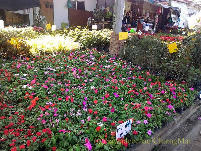 チェンマイ市内北部にあるカムティエン市場の花苗屋