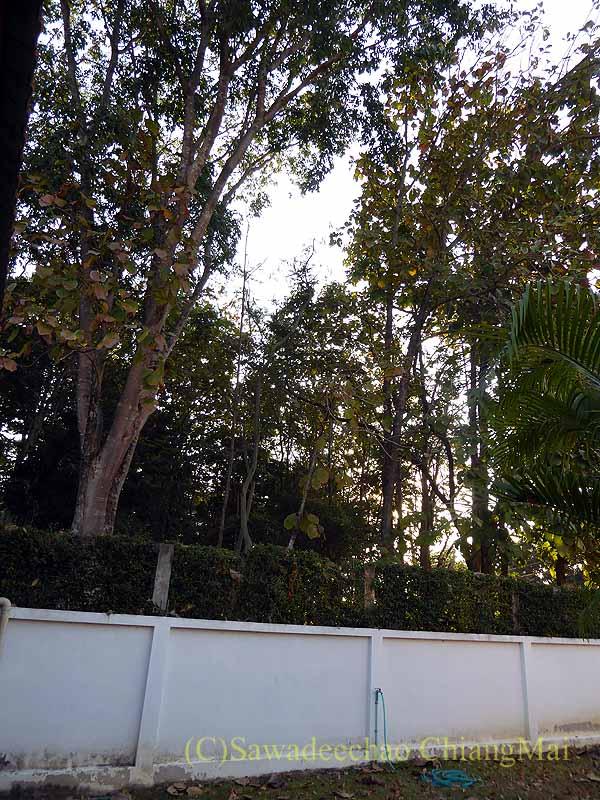 チェンマイの自宅の裏にある豪邸の巨木の林