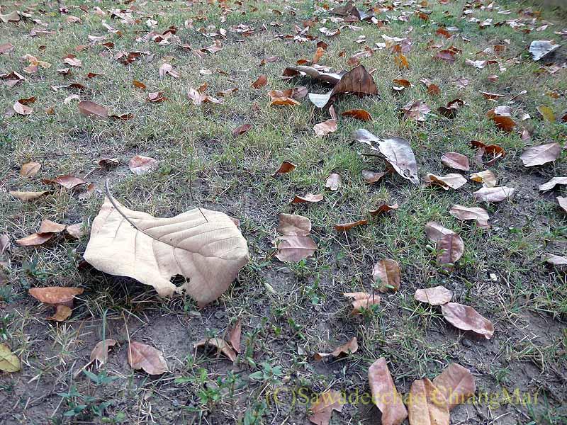 チェンマイの自宅の庭の落ち葉