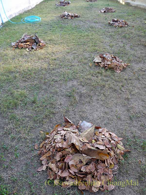 チェンマイの自宅の庭に落ちた大量の葉っぱを集める