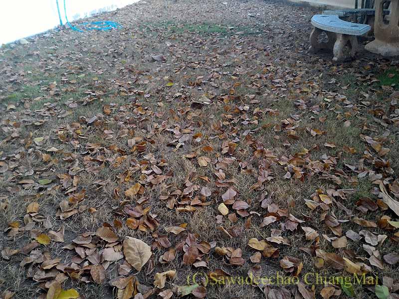 チェンマイの自宅の庭に裏の家から落ちた大量の葉っぱ