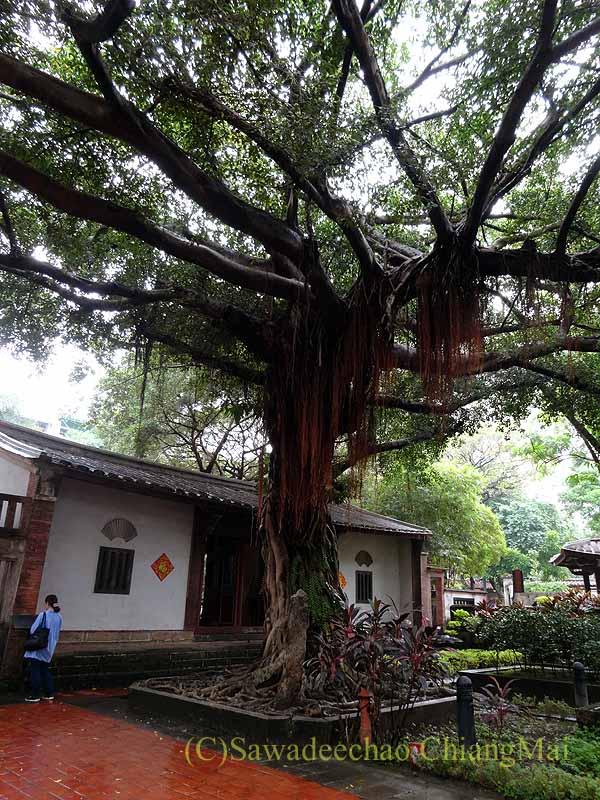 台北郊外にある林本源園邸の汲古書屋の大木