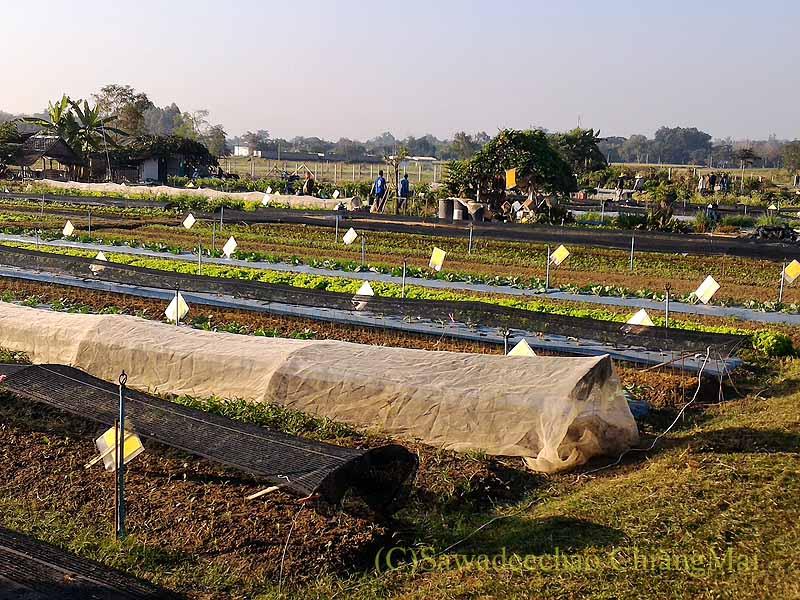 チェンマイ大学農学部の畑