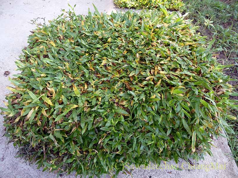 チェンマイにあるカムティエン草木専門市場で買った芝チェンマイ市内北部にある草木専門のカムティエン市場で買ったマレー芝