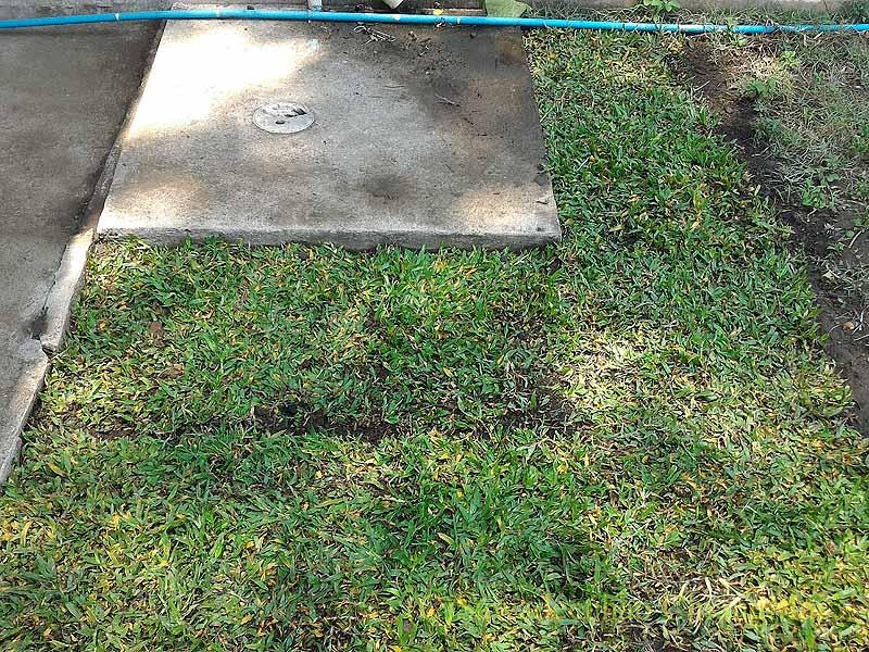 チェンマイの自宅の庭に開いた蛇の穴の周囲に芝を敷きつめる