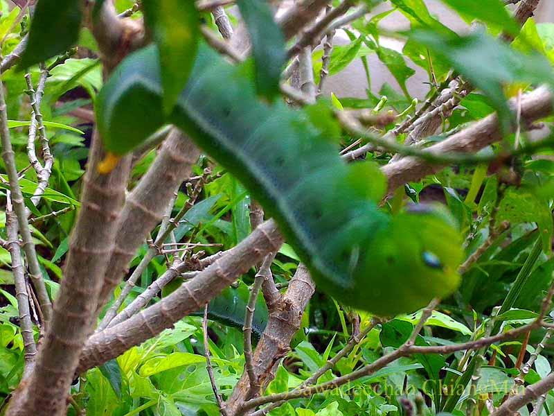 チェンマイの自宅のジャスミンの木にいたイモムシ