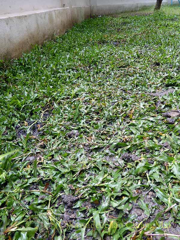タイ北部の街チェンマイの自宅の芝を張り替え終わった庭