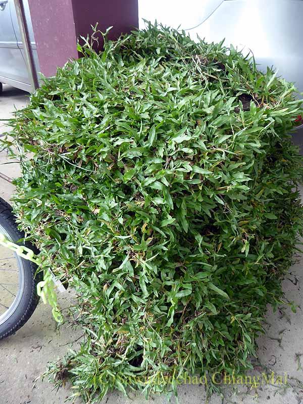 チェンマイのカムティエン草木市場で購入したマレー芝