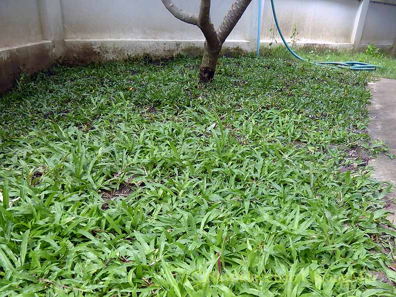 タイ北部の街チェンマイの自宅の庭の芝生
